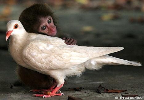Monkeypigphtsht1309_468x325