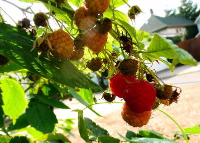 Raspberriesfall